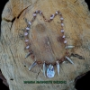 Almond colour blister pearl